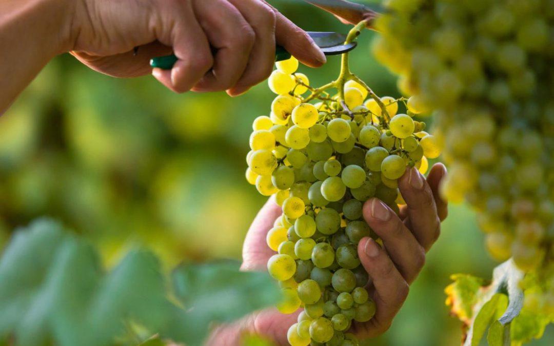 I vitigni bianchi autoctoni piemontesi